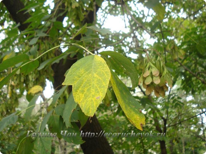 Листья клена канадского.