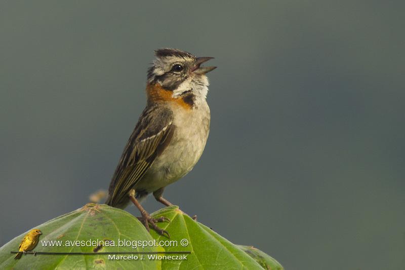 Tico-tico, Rufous-collared Sparrow, Zonotrichia capensis