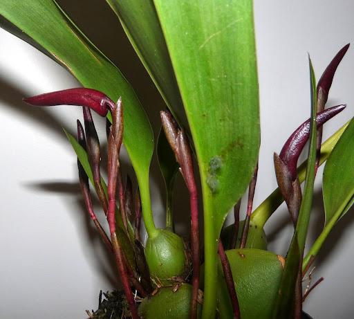 Maxillaria calantha P1370053