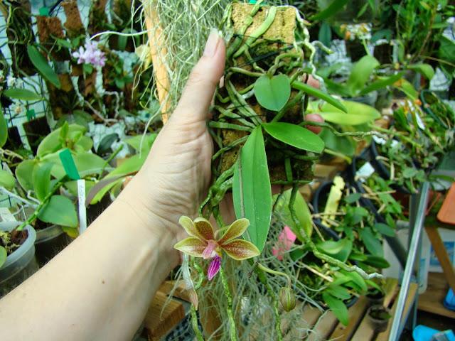 Phalaenopsis Stromini DSC01960