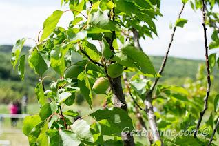 dallardaki yeşil kayısılar, Stella Polonezköy