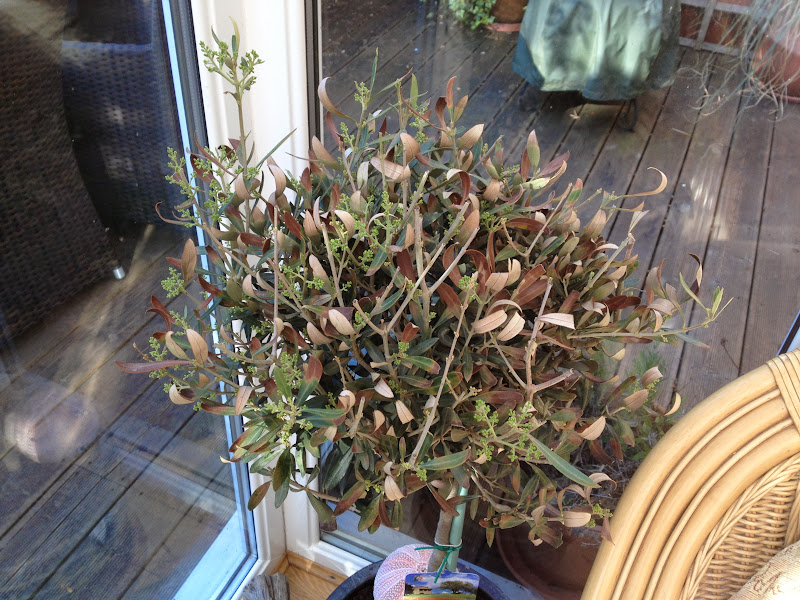 My Olive Tree In A Pot Is It Ok Page 1 Homes Gardens And Diy