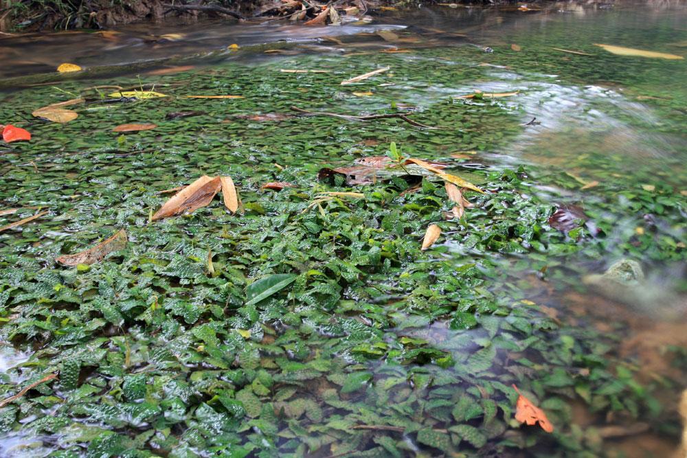 Криптокорина Ки (С. keei) в реке Sedian, Bau. Фото: Д. Логинов.
