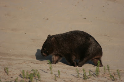 Wombats must be one of the coolest animals on Earth!