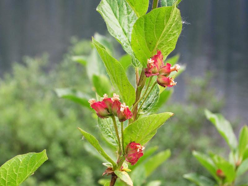 Evergreen arbusto de flores para los setos hermosos: Hebe