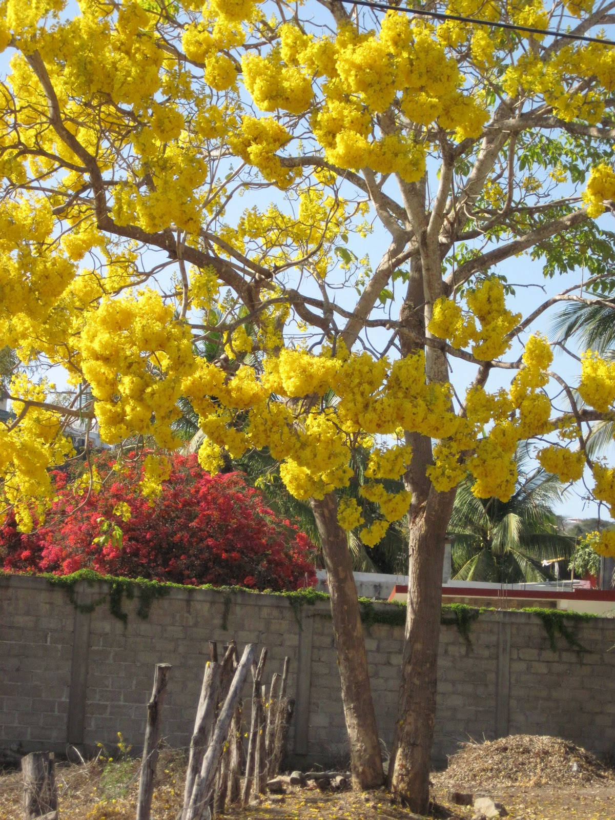 The Yellow Flower Tree