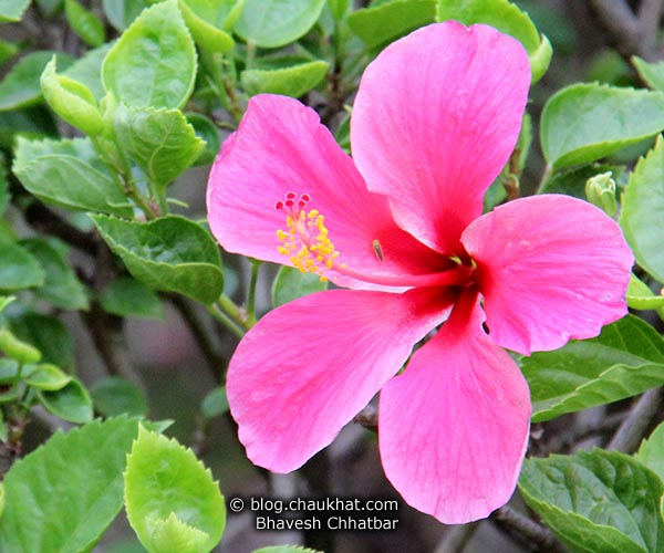 A Pink Hibiscus in Baneshwar [Pune]. Did you know that Hibiscus has over 200 sub-species and has many synonyms like Flor de Jamaica, Rosemallow, Bombycodendron Hassk, Sorrel, Pariti Adans, Bombycidendron Zoll & Moritzi, Wilhelminia Hochr, Pariti Adans?