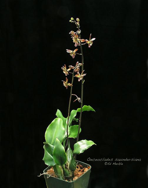 Растения из Тюмени. Краткий обзор - Страница 4 Oeceoclades_saundersiana1A