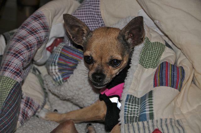twinkie tiny dog teacup chihuahua a dog blog mar 4 2011. Black Bedroom Furniture Sets. Home Design Ideas