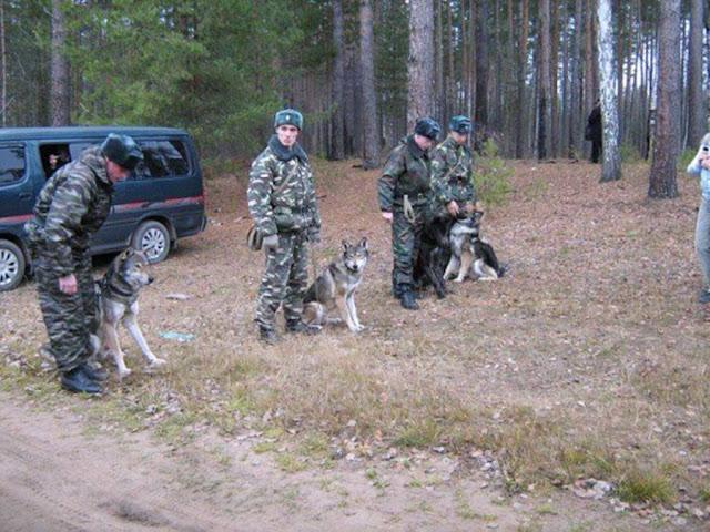 Những chú Volkosoby được đào tạo để theo dõi chất nổ, phát hiện hàng lậu