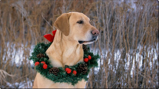 Ready for Christmas, Yellow Labrador.jpg