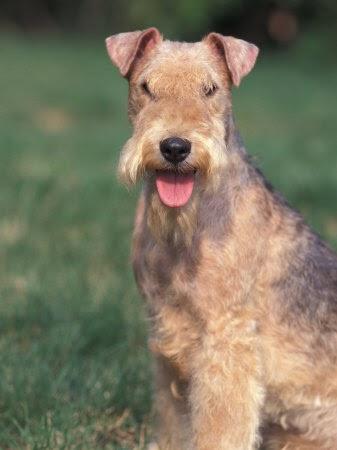 Lakeland Terrier Weight Dog Site: Dog Breeds -...
