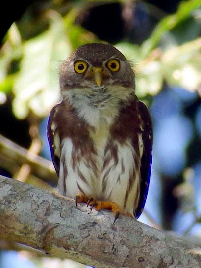 Rare Photo Of An Amazonian Pygmy Owl