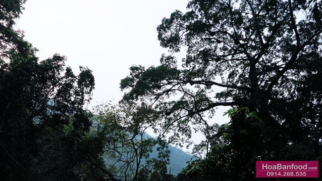 Khai thác Mật Ong Rừng ở Lai Châu - 11