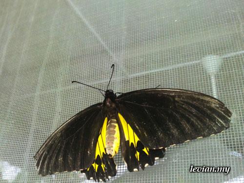 Butterfly (SE Vivaz)