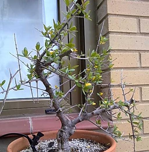 Meter mano a un olivo silvestre 190220132337