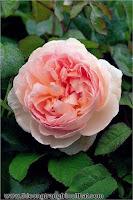 Sân vườn cực đẹp với 5 loại hoa hồng ngoại dễ trồng - Thi công nội thất