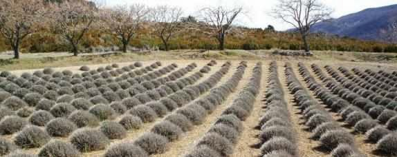 Lavendel-Feld in der Haute-Provonce, Frankreich