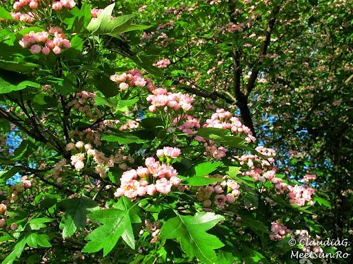 Tura la munte in Canada. un maces roz