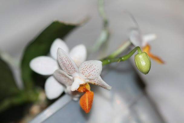 Phalaenopsis Mini Mark IMG_1212