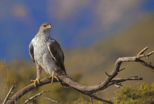 Natura: 12 rare aquile Bonelli spiccano volo in Sicilia