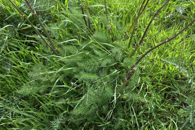 wild fennel, Israel