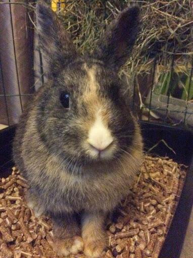 [Adoptée]-Emy-lapine tricolore Emy4-30513