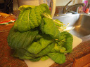 9 week bok choi - harvested remainder