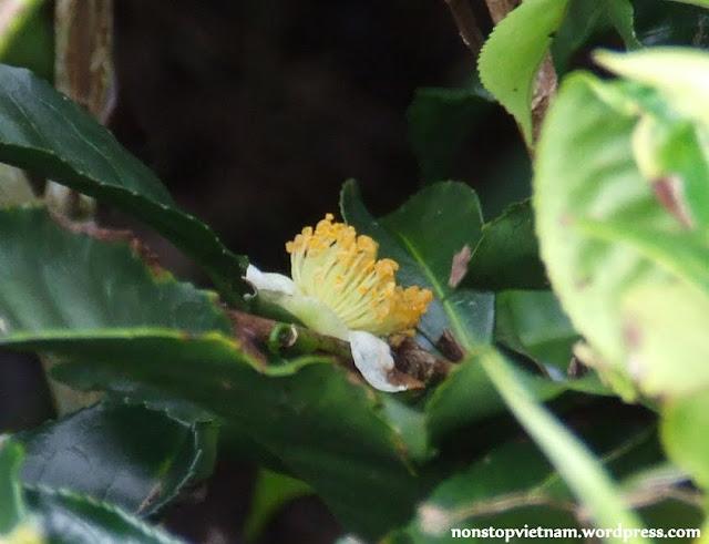 Tea flower / A tea virága