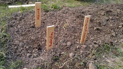 Radieschen, Chrysantheme, Mizuna