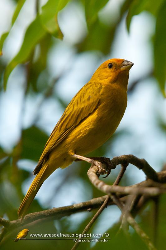 Jilguero dorado (Saffron yellow-Finch)