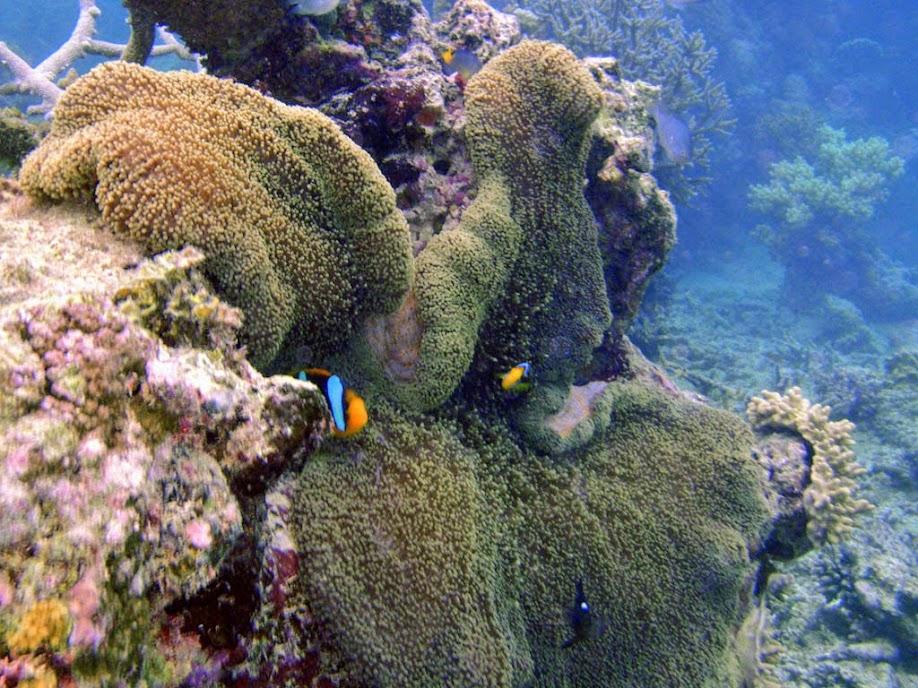 Amphiprion chrysopterus (Orangefin Clownfish) with Stichodactyla mertensii (Merten's Carpet Anemone), Naigani Island, Fiji.