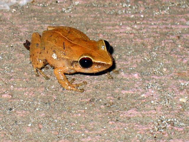 Лягушка листовая коки (Eleutherodactylus coqui)