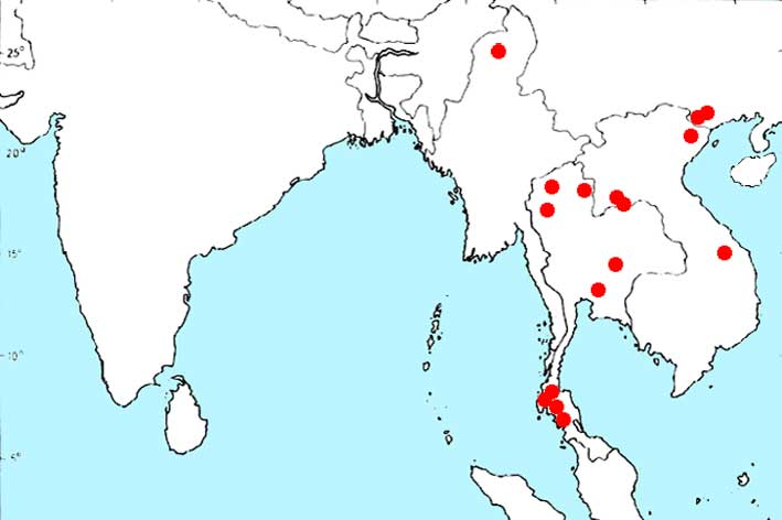 Криптокорина Балансе (Cryptocoryne crispatula var. balansae)