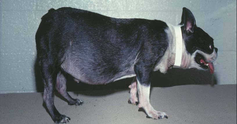 Animal Endocrine Clinic Cushing S Syndrome A Common