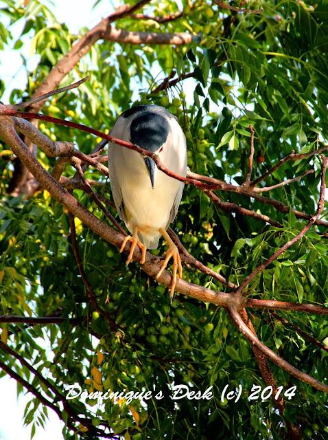 Black beak white bird