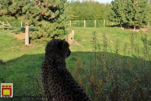 cheetahs vieren hun eerste verjaardag Zoo Parc Overloon (12) 11-11-2012.JPG