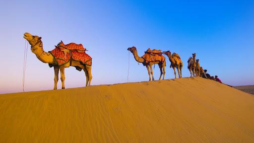 Camels, Thar Desert, India.jpg