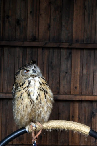 Owl at Warwick Castle in England