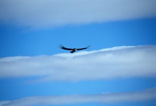 Opazovanje kondorjev
