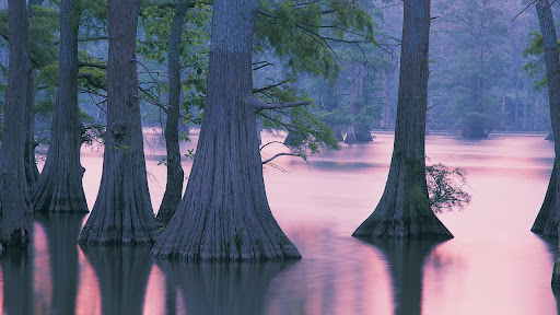 Cypress Trees, Horseshoe Lake Conservation Area, Illinois.jpg