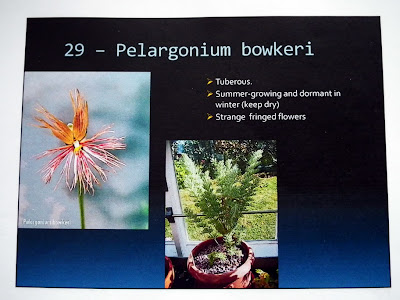Pelargonium Bowkeri description