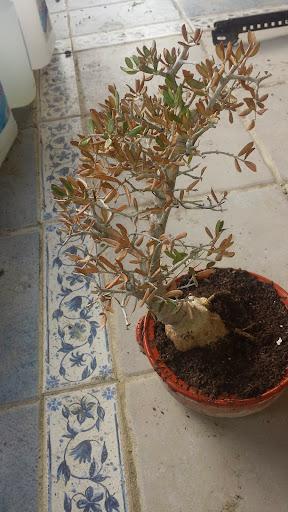 Olivo en problemas, seca hojas. 2014-01-12%252010.43.28