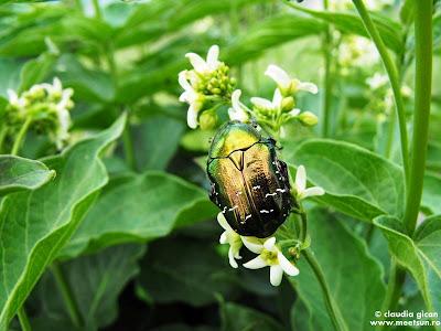 carabus auriu (centonia aurata) pe o floare alba de Iarba Fiarelor