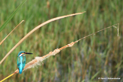 10-Sep-2011 Common Kingfisher Pic: Harish Mahendrakar
