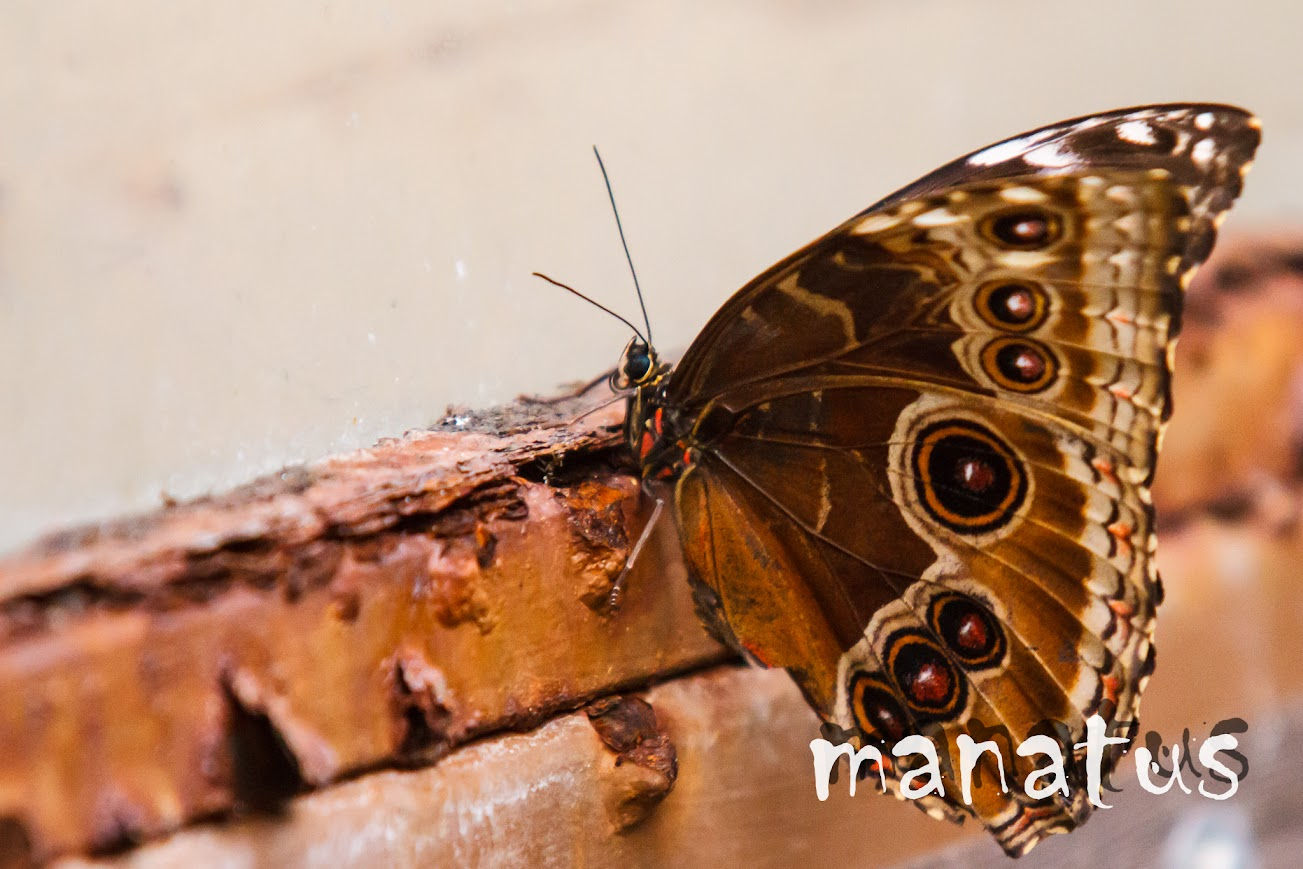 manatus foto blog mariposa