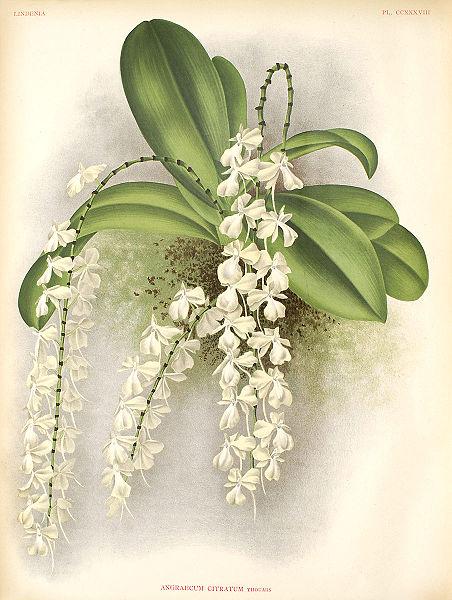 Растения из Тюмени. Краткий обзор Aerangis_citrata