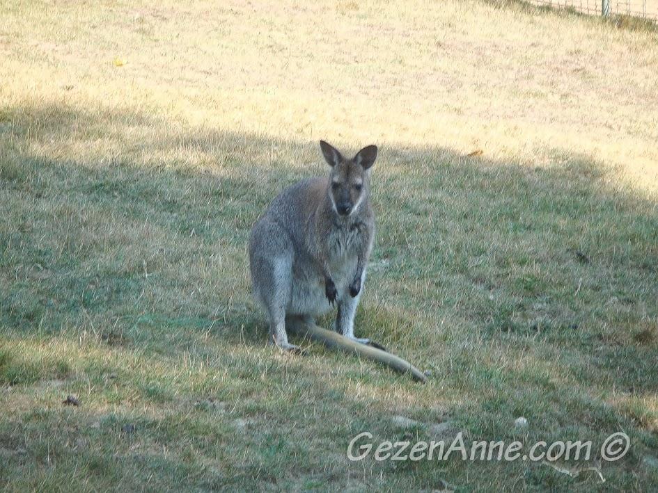 Polonezköy Piknik Park'taki minik kanguru