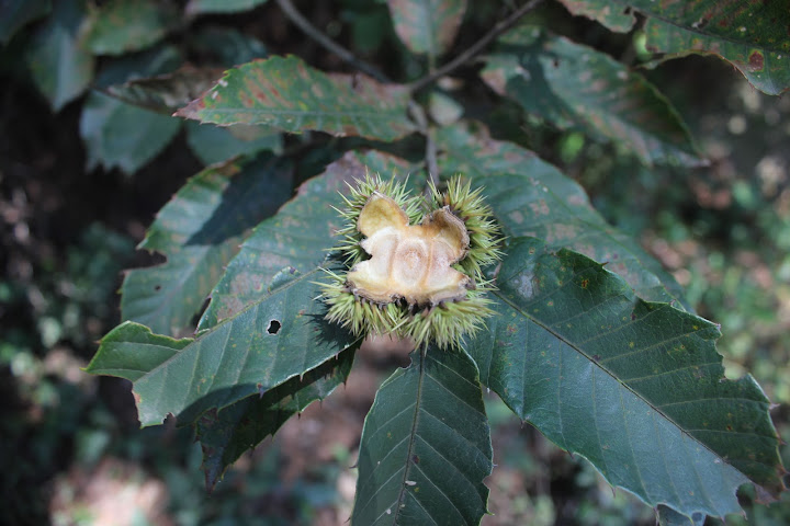其实这是一个野生的毛栗,只不过里面的果实已经不见了