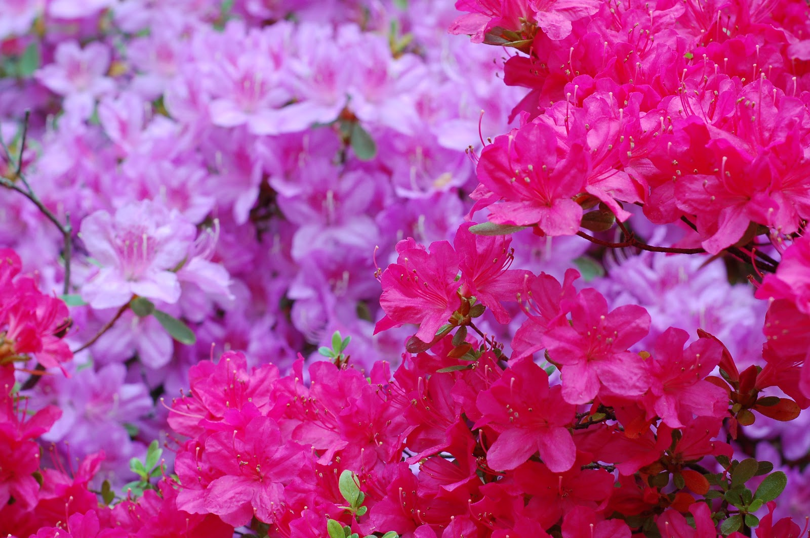 Looking forward to our azaleas blooming in the next few weeks. title=